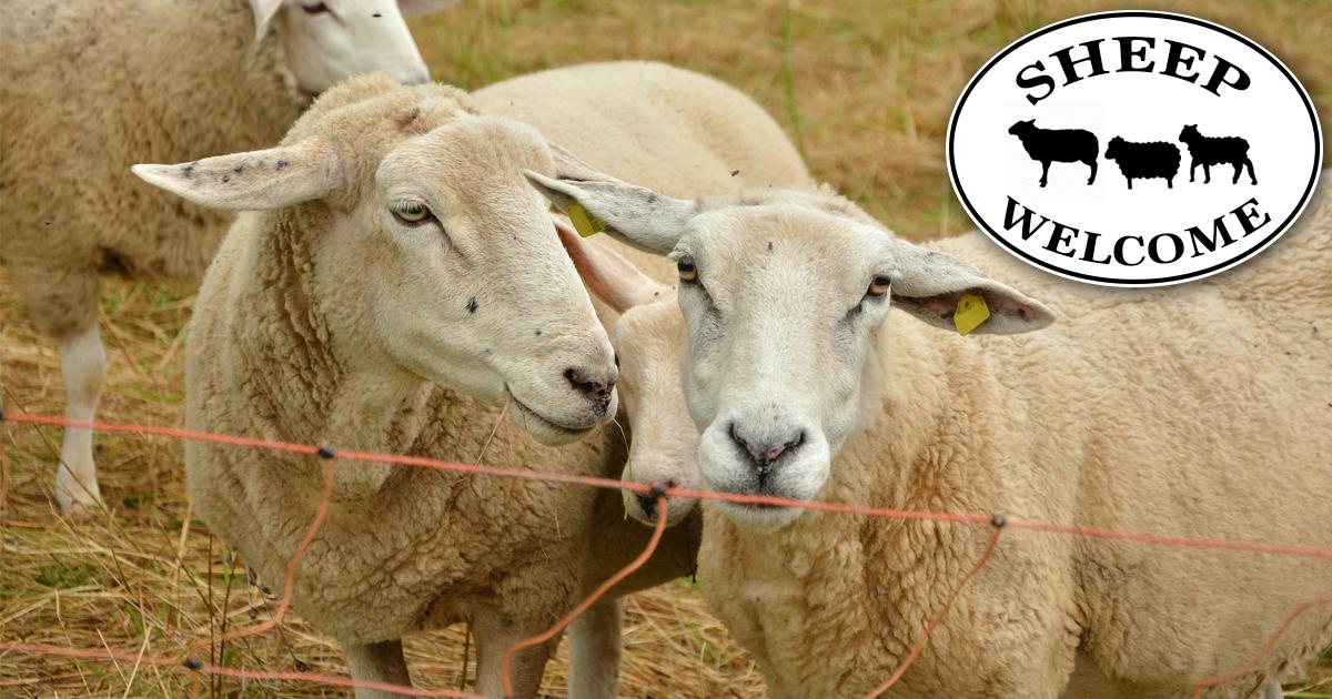 Asyl - die letzte Hoffnung für diese Schafe.
