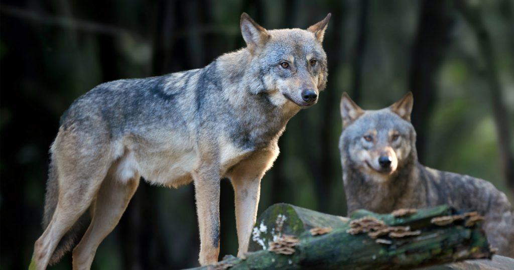 Noktara - Graue Wölfe - An diesen Anzeichen kannst du sie ganz leicht erkennen - Nahaufnahme