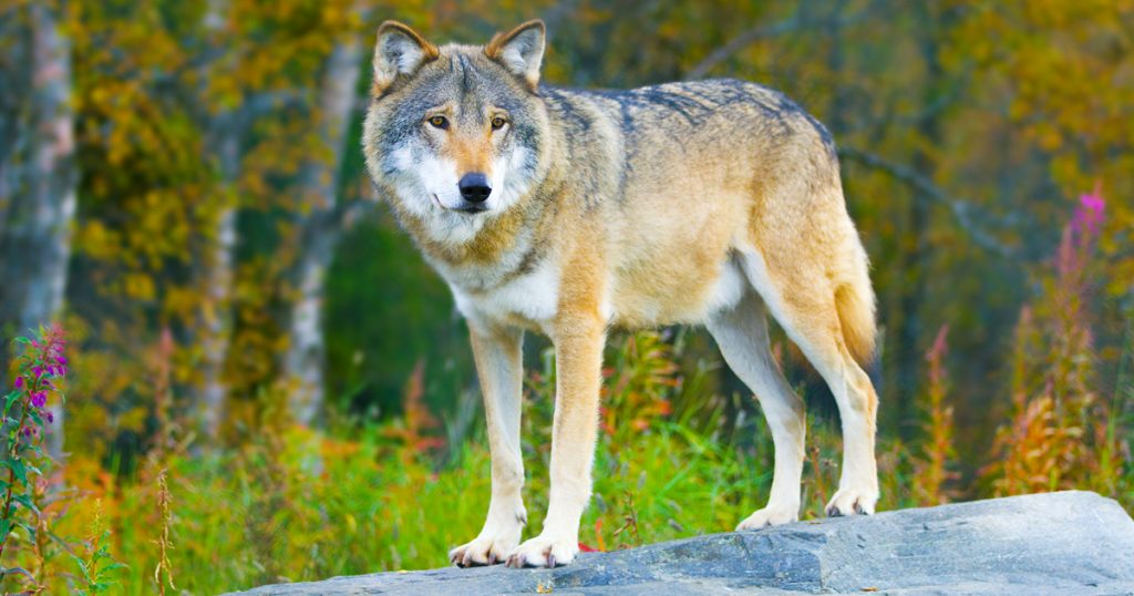 Noktara - Graue Wölfe - An diesen Anzeichen kannst du sie ganz leicht erkennen - Wolf