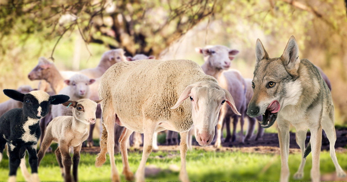Noktara - Herdenimmunität - Hirte opfert 10% der Schafe an Wolf, um Rest zu retten
