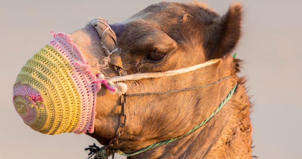 Noktara - Maskenpflicht - Marokko verordnet Atemschutzmasken für Kamele - DIY