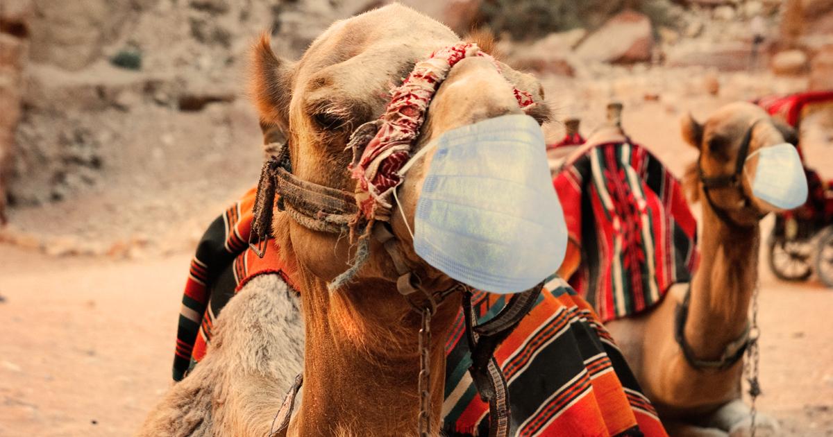 Noktara - Maskenpflicht - Marokko verordnet Atemschutzmasken für Kamele