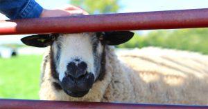 Noktara - Muslim streichelt Schaf vor dem Opferfest, damit das Fleisch schön zart wird