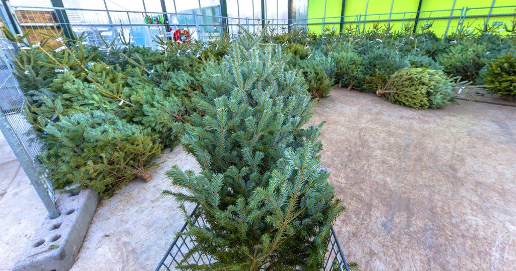 Noktara - Umweltschützer befreien Weihnachtsbäume aus Gefangenschaft